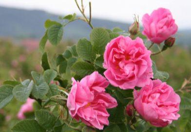 Отпускат 3 млн. лева за преработка на розов цвят